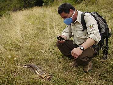 Un vigilante de la Fundación Oso Pardo observa la pata anterior del animal (FOP)