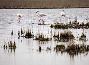 Flamencos buscando peces en el Parque Natural de Camargue, en el delta del Ródano, Arles (AFP)