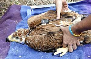 Tallaje de uno de los pollos de águila imperial trasladados a Doñana (EFE)