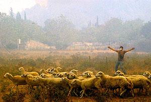 Un pastor intenta salvar a sus ovejas del fuego en Chania, al oeste del Peloponeso. (Foto: EFE)