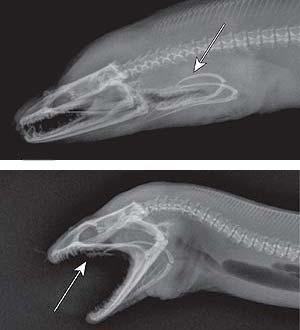Radiografías que recogen el movimiento de las mandíbulas interiores (Nature)