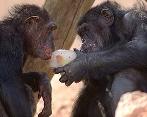 Chimpances en el zoo de Jerusalem (Foto: REUTERS)