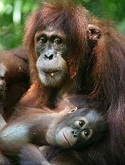 Un orangutan de Sumatra y su cría (AFP)