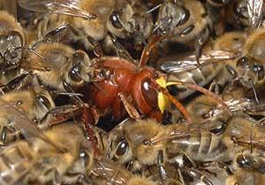 Avispón rodeado de abejas (Foto: AFP)