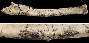Marcas dejadas en los huesos por los cañones de las plumas (Foto: Museo de Historia Natural de América)