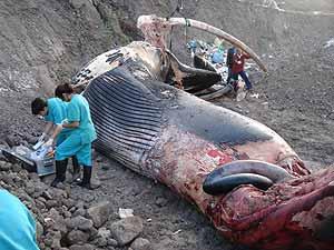 Manuel Arbello se prepara para la necropsia de un rorcual común en Las Palmas (Foto: I.S.A.)