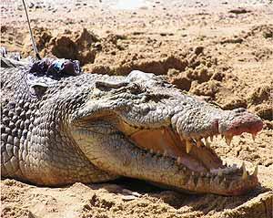Uno de los cocodrilos del experimento, con el localizador (Foto Plos One)