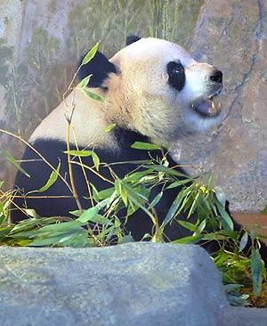 Bingxing en su recinto del zoo de Madrid. (Foto: Alfredo Merino)