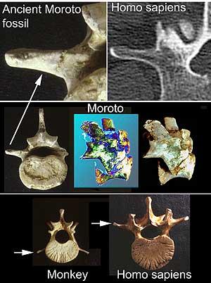 Comparación de huesos del primate y de un 'Homo Sapiens' (Foto: Aaron G. Filler)