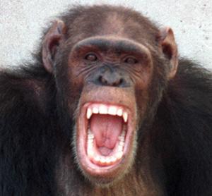 Los chimpancés chillan en función de otros miembros del grupo. (Foto: REUTER)