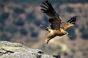Un ejemplar joven de águila imperial. (Foto: J. RODRIGUEZ)