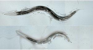 Arriba, gusano transgénico hermafrodita; abajo un macho normal. (Foto:CURRENT BIOLOGY)