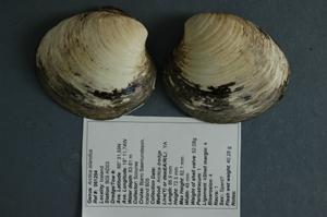 Ejemplar similar a la almeja 'Ming' (Foto: Universidad de Bangor)