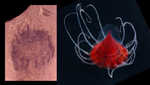 Fósil de medusa (Foto: B. Lieberman)