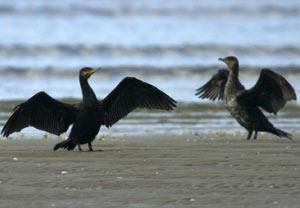 Aves afectadas por el hundimiento del Prestige. (Foto: EFE)