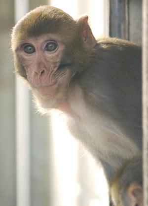 Un mono de la especie macaco rhesus. (Foto: Science)