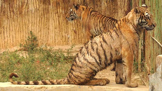 El abandono de los tigres del Parque Xiongsen de Guilin es evidente. (Foto: SINOPIX) Vea más imágenes.