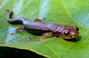 Otra especie de salamandra botiglossa (MNH)