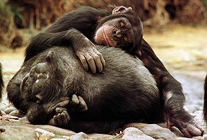Dos chimpancés duermen en el Zoo de Taronga, en Sidney (Foto: David Gray / Reuter)
