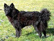 Un perro Mudi húngaro. (Foto: El Mundo)