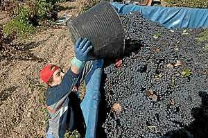 Un temporero descarga un cuévano de uvas. (Foto: J.M. Lostau)