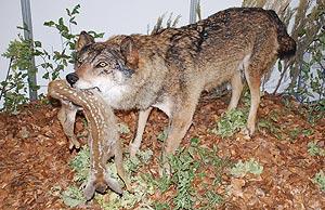 Imagen naturalizada de un soberbio lobo. (L. de la Fuente)