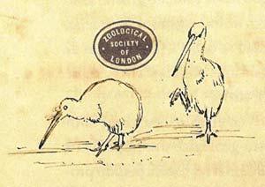 Dibujos de un pájaro kiwi realizados por Charles Darwin. (Foto: El Mundo)