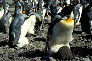 Pingüinos rey en la Antártida. (Foto: PNAS)