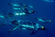 Pingüinos rey buceando. (Foto: PNAS)