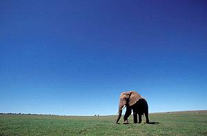 Un elefante en el Parque Nacional de Addo, cerca de Port Elizabeth, Sudáfrica. (Foto: EFE)