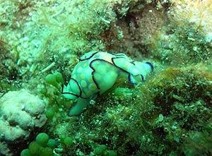 La babosa (nudibranquio) 'Haminoea cyanomarginata' al no tener concha se defiende expeliendo sustancias tóxicas. (Foto: CSIC)