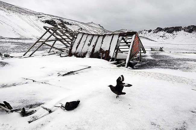 Una skua delante de los restos de una cabaña ballenera en isla Decepción, Antártida. (Foto: Alfredo Merino).