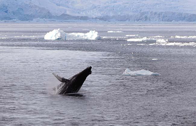 Ballena saltando en el Canal Lemaire, península antártica. (Foto: Alfredo Merino).