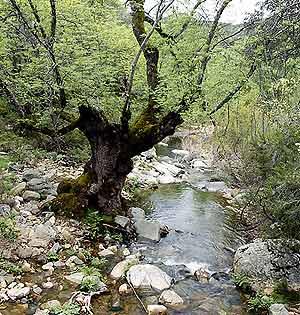 Un fresno dañado junto al arroyo de Malvecino en el Parque Nacional de Monfragüe. (Foto: Ismael Rozalén)