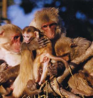 Macacos rhesus con sus crías. (Foto: PNAS)
