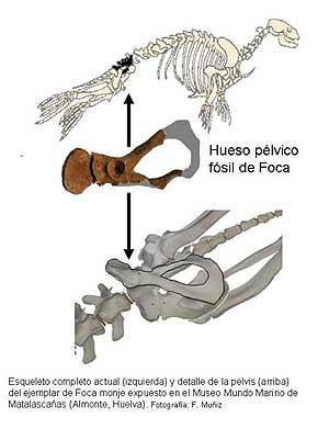 La pelvis encontrada, confrontada con la de una foca actual. (Foto: EFE)