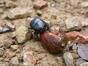 Imagen de un escarabajo de la especie 'Thorectes lusitanicus' comiendo una bellota. (Foto: CSIC)