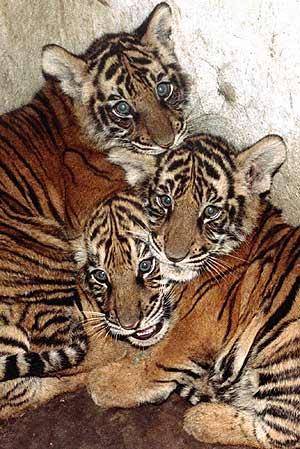 Imagen de archivo de tres tigres. (Foto: REUTERS)