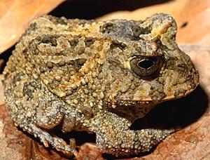 Especie recién descubierta de rana cornuda del género 'Proceratophrys'. (Foto: Conservation.org)
