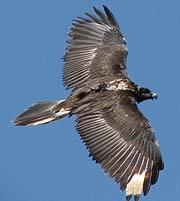 'Segura' en pleno vuelo. (Foto: Gypaetus)