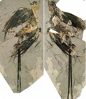 El fósil del 'Eoconfuciusornis zhengi' hallado en China se encuentra muy bien conservado. (Foto: Zhou Zhong-He | Instituto de Paleontología y Paleoantropología de Vertebrados en Beijing)