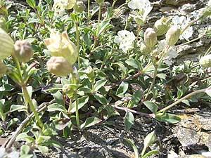 Imagen de unas 'silenes maritimas' que crecen al lado de una roca. (Foto: Wikipedia Commons)