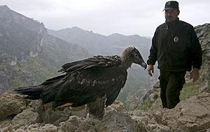 Uno de los pollos de quebrantahuesos liberados en Jaén. (Foto: EFE)