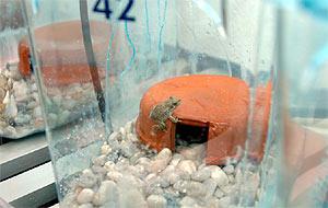 Imagen de un sapo partero en un centro de cría en Madrid. (Foto: (Comunidad de Madrid)