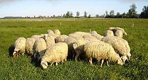 Imagen de las ovejas cuya dieta fue complementada con aceite de soja. (Foto: CSIC)