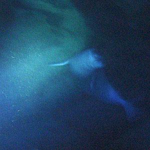 Imagen de la foca captada por los buceadores, (Foto:Efe)