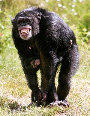 'Pia', un chimpancé hembra de 9 años, cuida a su recién nacida cría 'Amelie', en su hábitad en el Parque Serengeti, en Hodenhagen, Alemania. (Foto: AFP)