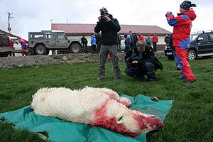 Un grupo de periodistas toma fotos del oso polar abatido en Islandia. (Foto: AP)