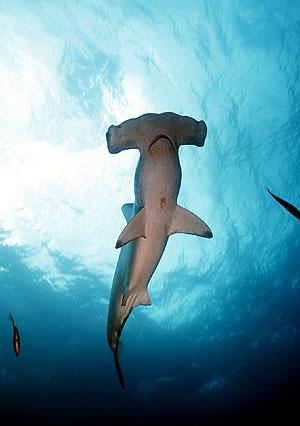 La población de tiburones martillo, como el de la imagen, ha disminuido en un 89% en el noroeste del oceáno Atlántico. (Foto: El Mundo)