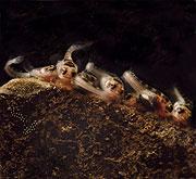 Larvas de pez sapo. (Foto: Margaret A. Marchaterre   Universidad de Cornell)